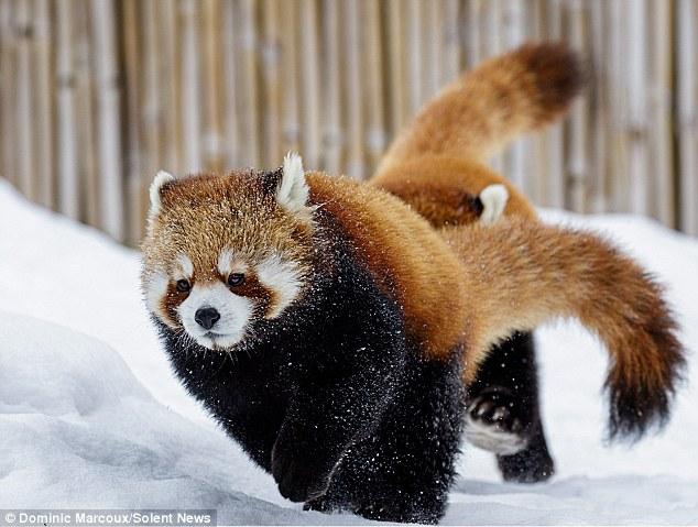 """Руки до гори: як червоні панди гралися в """"Козаків-розбійників"""" - фото 2"""