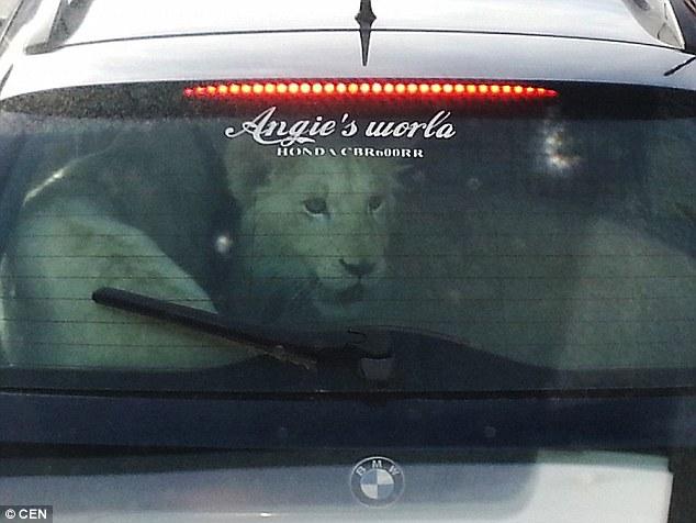 Як чеський водій перевозив в авто двох білих левів  - фото 2