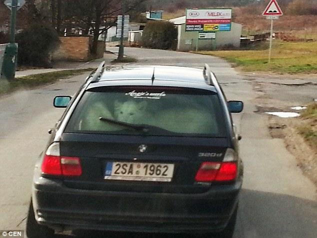 Як чеський водій перевозив в авто двох білих левів  - фото 1