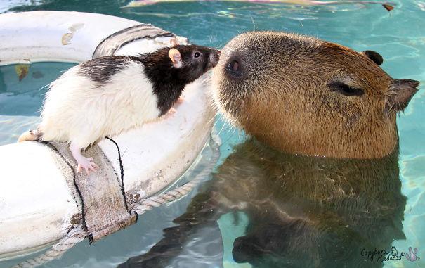 Як тварини обожнюють кумедних капібар  - фото 3