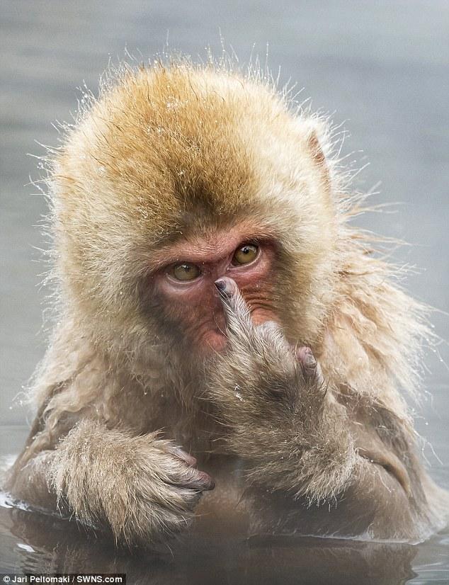 Як зла мавпа показала середній палець набридливому фотографу  - фото 1