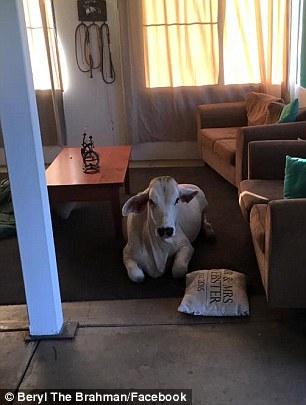 Корова, яка поводить себе як пес, підірвала інтернет - фото 1