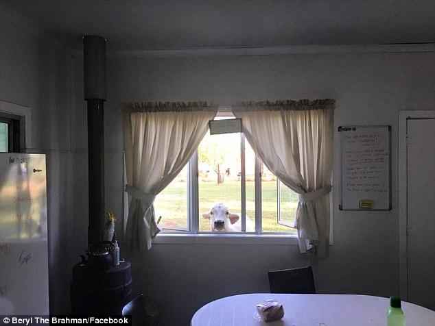 Корова, яка поводить себе як пес, підірвала інтернет - фото 2