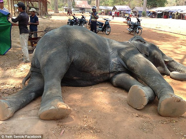 У Камбоджі слон впав замертво через велику кількість туристів  - фото 1