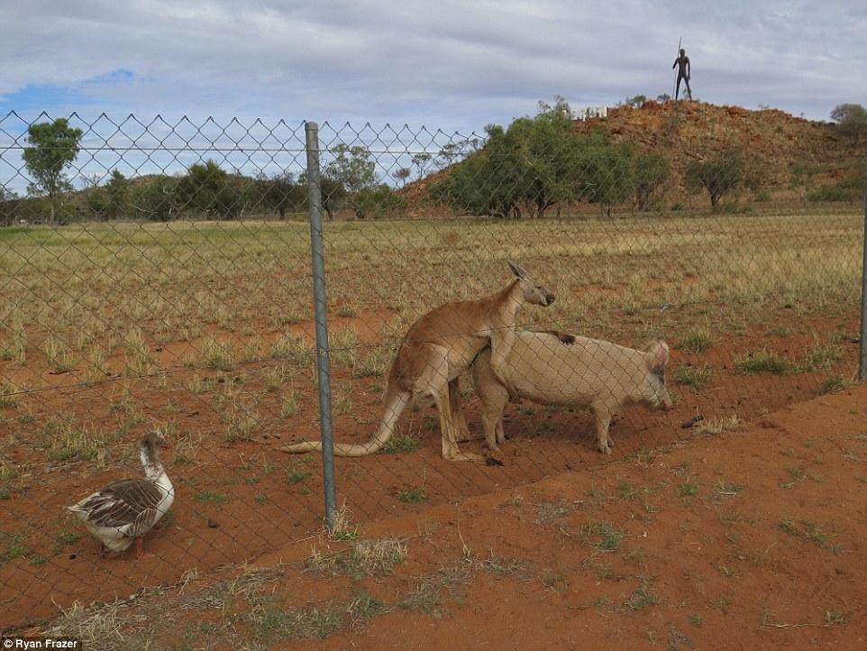 Австралієць знайшов кенгуру, який перчив свиню і гусака-наглядача - фото 2