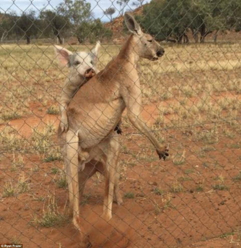 Австралієць знайшов кенгуру, який перчив свиню і гусака-наглядача - фото 3