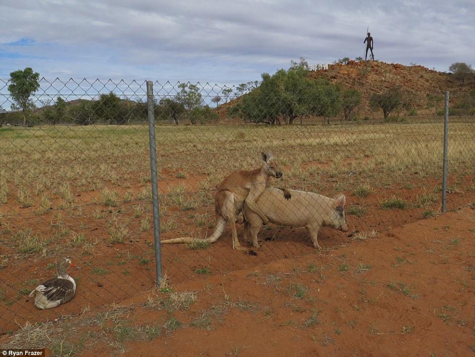 Австралієць знайшов кенгуру, який перчив свиню і гусака-наглядача - фото 1