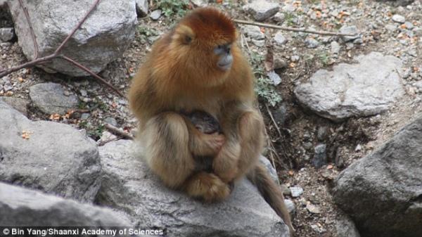 Як самці мавп приймають пологи у своїх дружин - фото 2