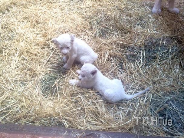 Під Києвом народилися одразу 5 білих левенят - фото 3