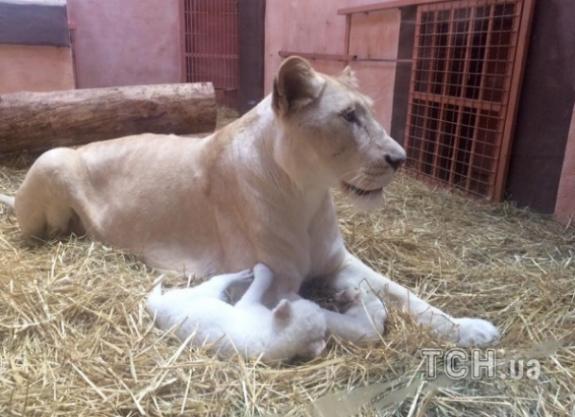 Під Києвом народилися одразу 5 білих левенят - фото 1