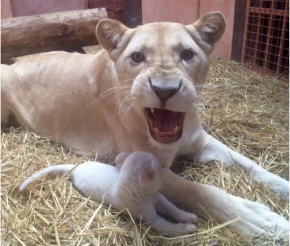 Під Києвом народилися одразу 5 білих левенят - фото 2