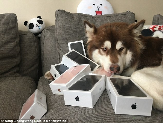 Китаєць подарував собаці вісім iPhone7 - фото 2