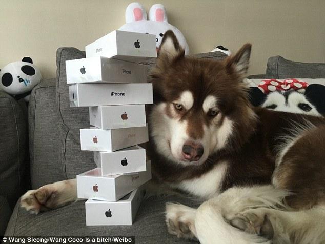 Китаєць подарував собаці вісім iPhone7 - фото 1