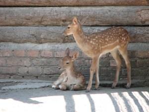 Бебі-бум у Миколаївському зоопарку: лані, якови та пташенята - фото 3