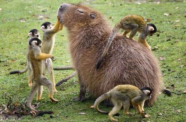 Як тварини обожнюють кумедних капібар  - фото 2