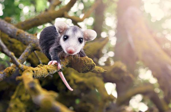 """""""Мімішні"""" тварини: дивовижні посуми та опосуми з Австралії - фото 3"""