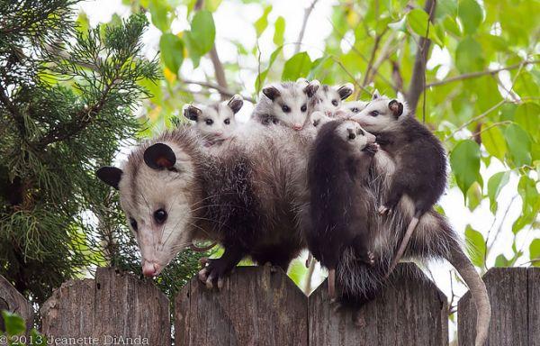 """""""Мімішні"""" тварини: дивовижні посуми та опосуми з Австралії - фото 4"""