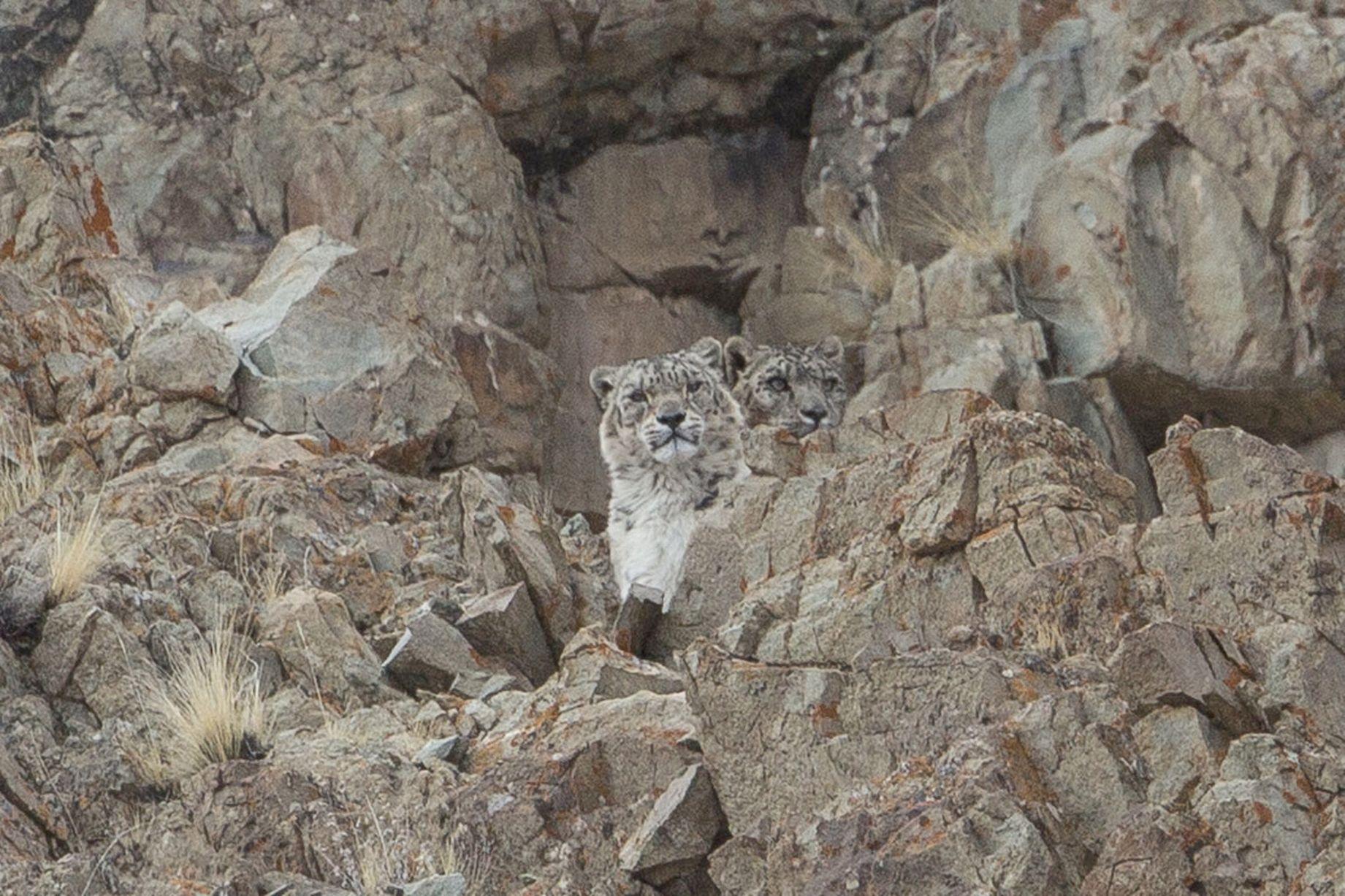 Днем, картинка с леопардом который спрятался