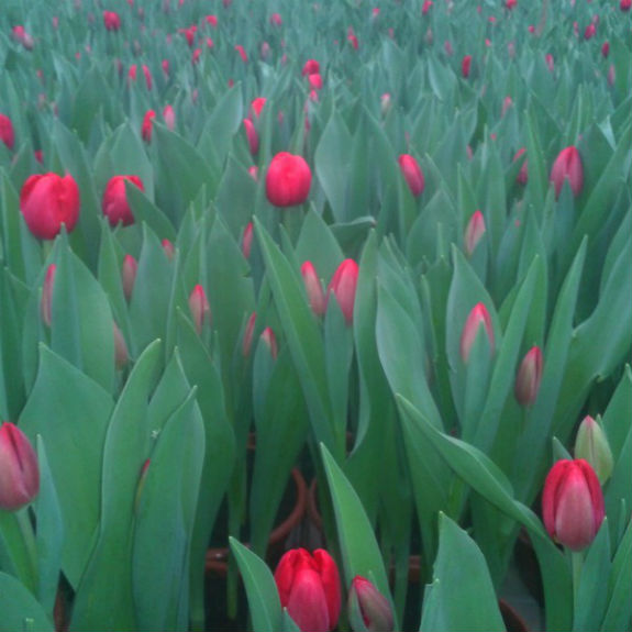 """Весняний київський """"тренд"""": підсніжники у горщиках по 40 грн, а тюльпани по 12 грн - фото 2"""
