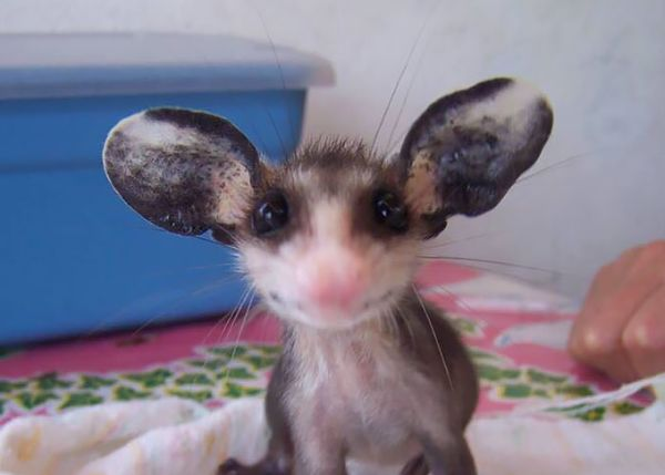 """""""Мімішні"""" тварини: дивовижні посуми та опосуми з Австралії - фото 5"""