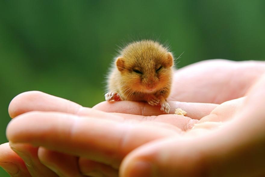 ТОП-13 крихітних новонароджених тваринок, які вміщуються на долонях  - фото 7
