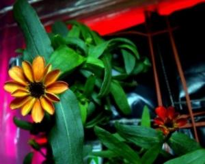 Вперше квітка, вирощена у космосі, зацвіла - фото 1