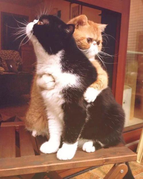 Пухнаста любов: Як коти готуються до Дня закоханих  - фото 9