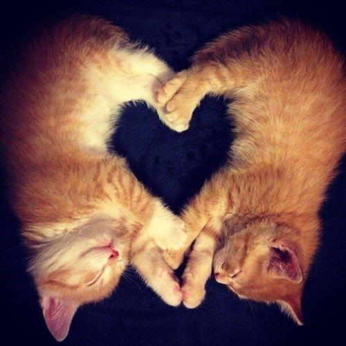 Пухнаста любов: Як коти готуються до Дня закоханих  - фото 1