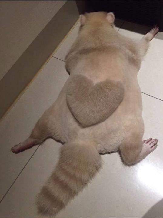 Як єнот носить серце на спині - фото 1