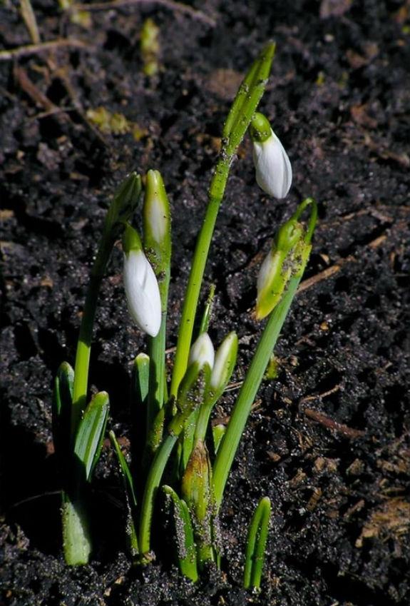 Майже весна: у Києві зацвіли проліски - фото 1