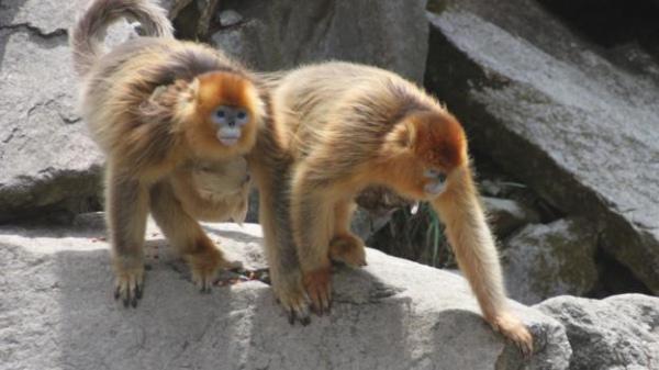 Як самці мавп приймають пологи у своїх дружин - фото 3
