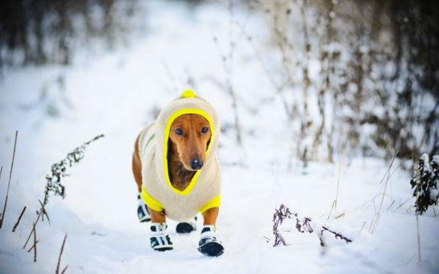 Холод собачий: ТОП-20 собак у зимовому одязі - фото 9