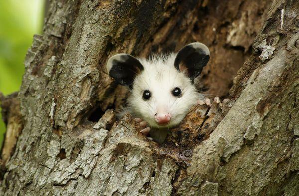 """""""Мімішні"""" тварини: дивовижні посуми та опосуми з Австралії - фото 8"""