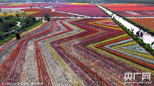 У Китаї розквітли мільйони тюльпанів  - фото 4