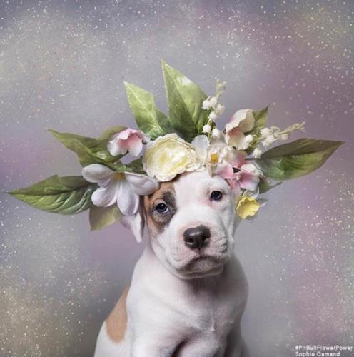 Пітбулі-україночки: Фотограф представила серію портретів собак у віночках - фото 1