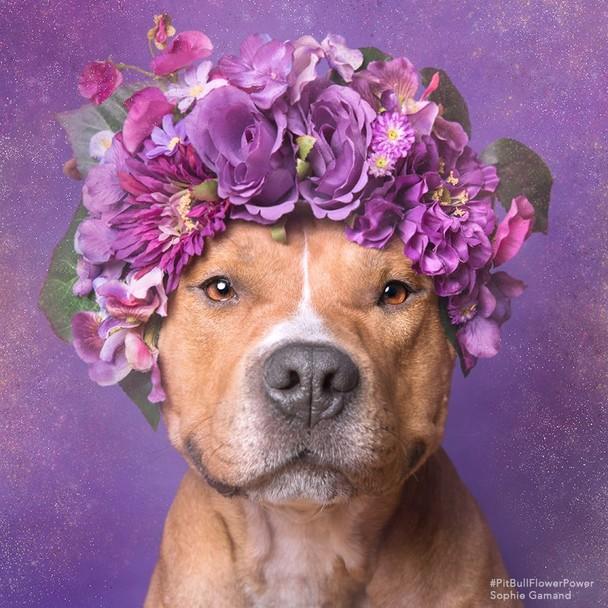 Пітбулі-україночки: Фотограф представила серію портретів собак у віночках - фото 2