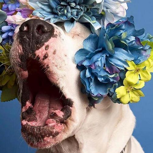 Пітбулі-україночки: Фотограф представила серію портретів собак у віночках - фото 3