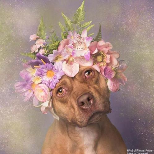 Пітбулі-україночки: Фотограф представила серію портретів собак у віночках - фото 4
