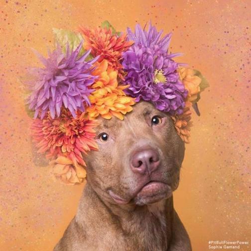 Пітбулі-україночки: Фотограф представила серію портретів собак у віночках - фото 5