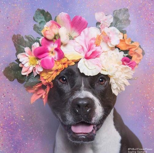 Пітбулі-україночки: Фотограф представила серію портретів собак у віночках - фото 6