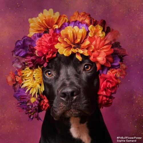 Пітбулі-україночки: Фотограф представила серію портретів собак у віночках - фото 8
