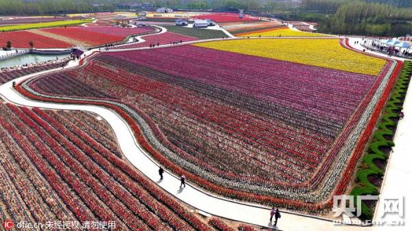 У Китаї розквітли мільйони тюльпанів  - фото 3