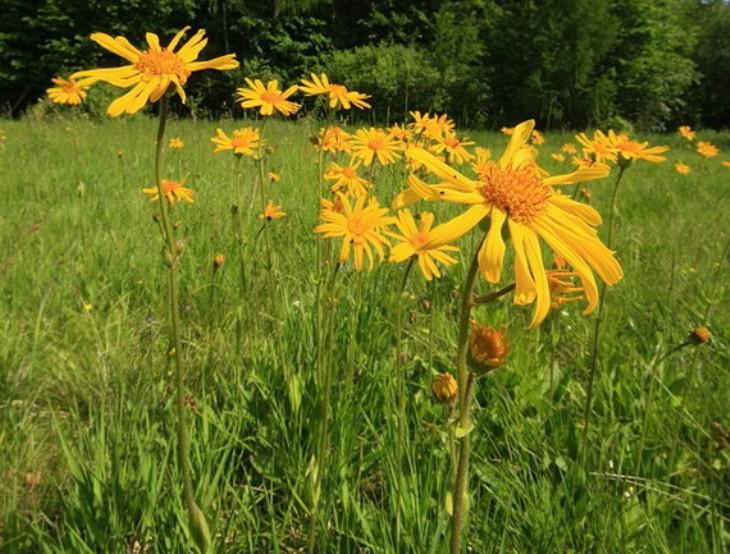 П'ять отруйних рослин, про які треба знати у подорожі Карпатами - фото 5