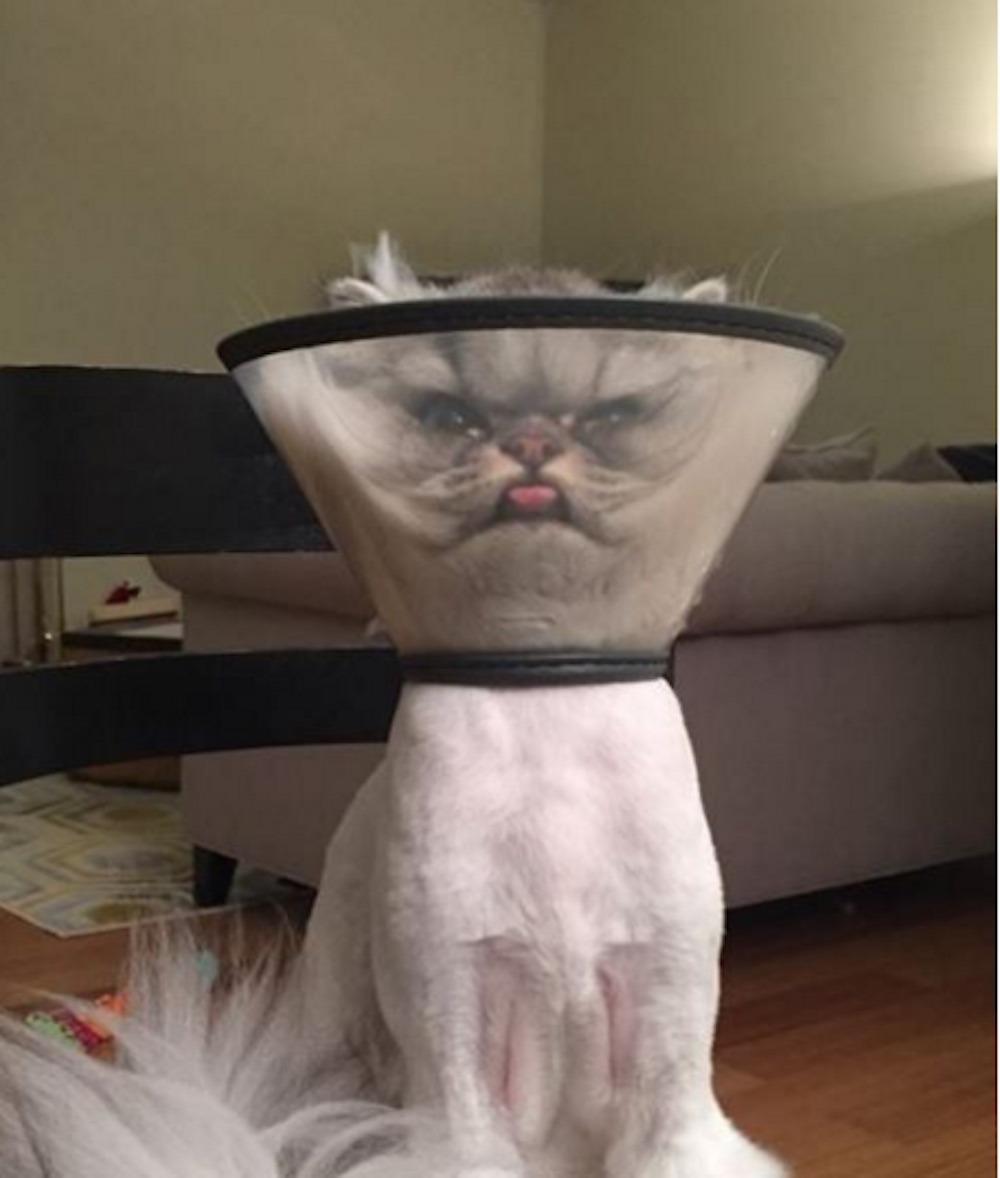 Як кіт кумедно носить захисний конус - фото 1