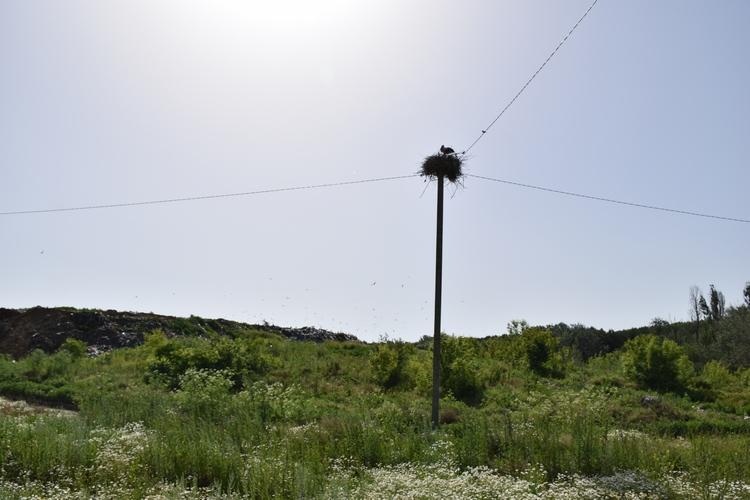 Лелеки звили гніздо на вінницькому сміттєзвалищі - фото 1