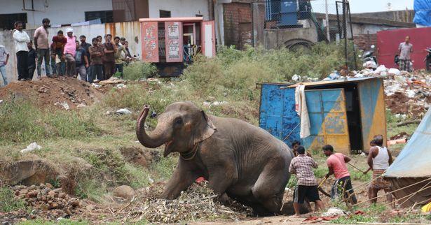Цирковий слон вирвався на волю і спричинив паніку в індійському місті - фото 4