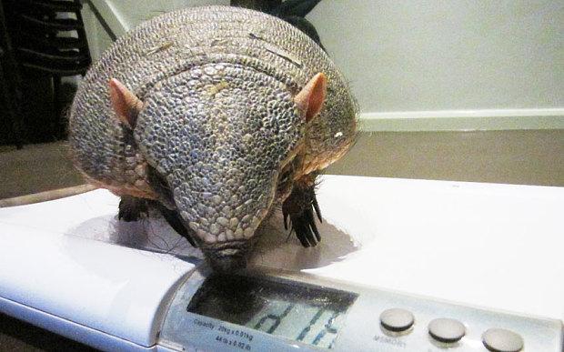 У Британії на дієту посадили товстушку-броненосця  - фото 2