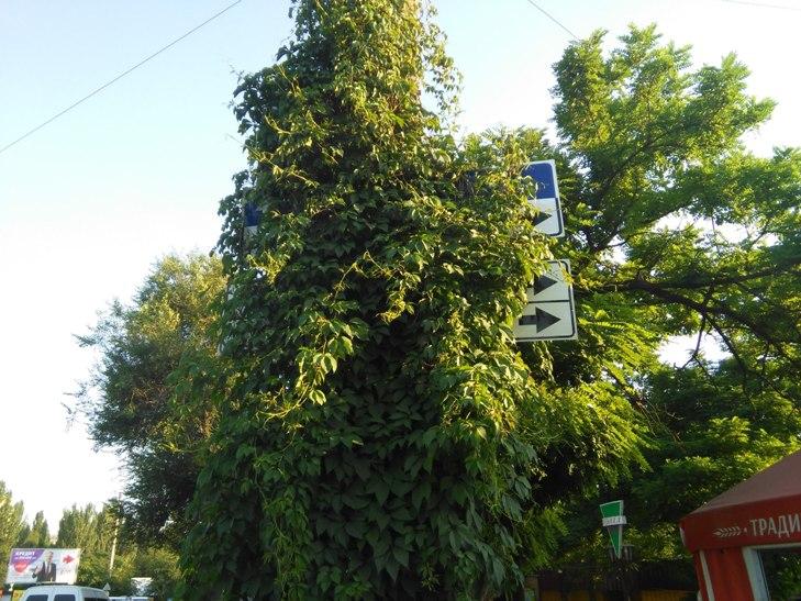 У Миколаєві ліани заплели дорожні знаки - фото 2