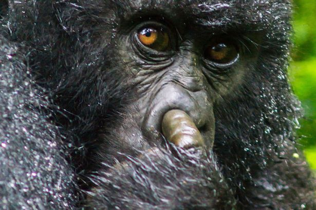Як горила у носі колупалася - фото 2