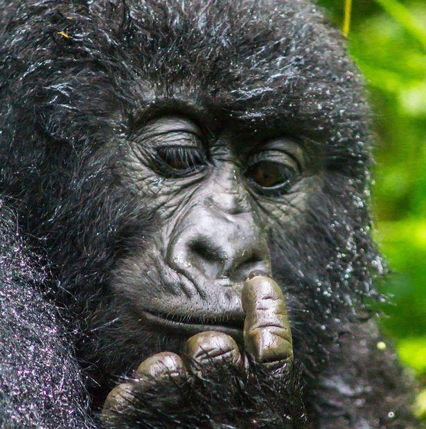 Як горила у носі колупалася - фото 3